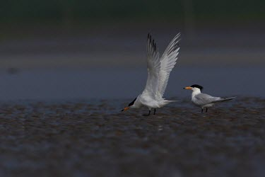 Chinese crested tern foraging at low tide Thalasseus bernsteini,seabird,sea bird,seabirds,sea birds,aquatic,aquatic birds,coast,coastal,coastline,gull,low tide,foraging,Chinese crested tern,Sterna bernsteini,Chordates,Chordata,Aves,Birds,Char