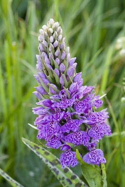 Single common spotted orchid orchid,common spotted orchid,flower,purple,nectar,summer,sunny,sun,grassland,macro,close up,shallow focus,Dactylorhiza fuchsii,Common spotted orchid,Orchid Family,Orchidaceae,Monocots,Liliopsida,Orchi
