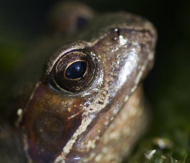 Common frog in garden pond frog,common,rana,temporaria,pond,river,stream,amphibian,webbed feet,eyes,eye,weed,garden,habitat,wet,slimy,macro,close up,shallow focus,Common frog,Rana temporaria,Anura,Frogs and Toads,Amphibians,Amp