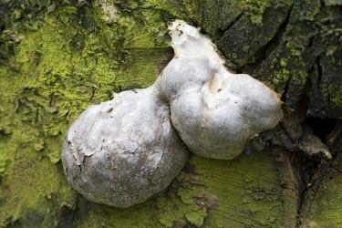 False puffball, against bark of tree False puffball,Enteridium lycoperdon,Myxogastria,fungus,fungi,funguses,eukaryotic,mushrooms,mushroom,puffball,decay,rotting