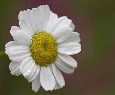 Feverfew flower close up Feverfew,Tanacetum parthenium,daisy,yellow,white,petal,plant,plants,flora,vegetation,foliage,greenery,flower,flowers,wildflower,wildflowers
