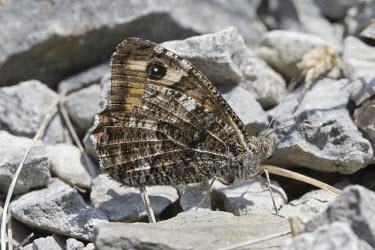 Grayling resting on pebbles Grayling,Hipparchia semele,butterfly,summer,spring,sun,sunny,bask,basking,Lepidoptera,Nymphalidae,Satyrinae,camouflage,eyespot,Animalia,Arthropoda,Insecta,butterflies,insect,insects,invertebrate,inver