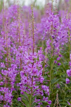 Rosebay willowherb in bloom Rosebay Willowherb,Chamerion angustifolium,cluster,willowherb,fireweed,pink,purple,cottony seed,Plantae,Myrtales,Onagraceae,Chamaenerion,petal,plant,plants,flora,vegetation,foliage,greenery,flower,flo