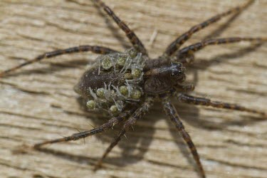 Spotted wolf spider with spiderlings spotted wolf spider,spiderlings,eight,legs,eyes,carry,motherhood,nurture,protect,Pardosa amentata,spider,spiders,invertebrate,invertebrates,arachnid,arachnids,baby,young,offspring,brood,macro,close up