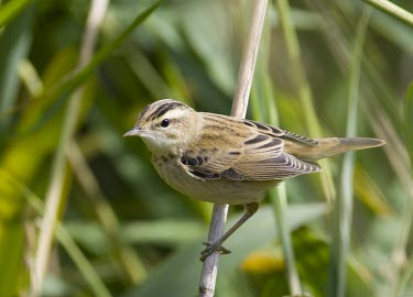 Sedge warbler perched on reeds Sedge Warbler,Acrocephalus schoenobaenus,sedge,warbler,summer,migrant,visitor,perched,perching,perch,reed,reeds,shallow focus,close up,Chordates,Chordata,Perching Birds,Passeriformes,Aves,Birds,Old Wo