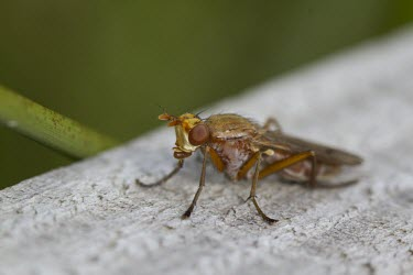 Tetanocera sciomyzidae fly macro,Tetanocera sciomyzidae,fly,yellow,close,up,close-up,eyes,orange,flies,insect,insects,invertebrate,invertebrates,Animalia,Arthropoda,Antliophora,Diptera,shallow focus,marsh fly,snail-killing fly