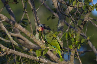 Cuban Amazon with a berry in its mouth parrot,parrots,colour,colourful,bird,birds,plumage,green,feathers,tropical,eating,feeding,berry,Cuban Amazon,Amazona leucocephala,Parrots,Psittaciformes,Parakeets, Macaws, Parrots,Psittacidae,Chordate