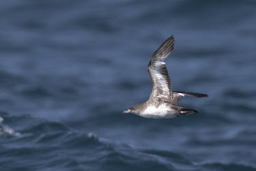 Pink-footed shearwater flying over water Sea,seas,Aquatic,water,water body,coast,coastline,coastal,environment,ecosystem,Habitat,saltwater,Marine,saline,Coastal,coast line,Animalia,Chordata,Aves,Procellariiformes,Procellariidae,Ardenna creat