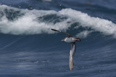 Pink-footed shearwater flying over waves saltwater,Marine,saline,Ocean,oceans,oceanic,environment,ecosystem,Habitat,Aquatic,water,water body,waves,surf,Wave,Animalia,Chordata,Aves,Procellariiformes,Procellariidae,Ardenna creatopus,seabird,se