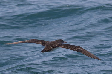 Pink-footed shearwater gliding close to the water Sea,seas,saltwater,Marine,saline,Aquatic,water,water body,environment,ecosystem,Habitat,coast,Coastal,coast line,coastline,coastal,Animalia,Chordata,Aves,Procellariiformes,Procellariidae,Ardenna creat