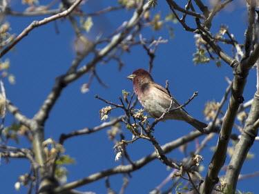 Cassin's finch perched in a tree Animalia,Chordata,Aves,Passeriformes,Fringillidae,Haemorhous cassinii,Carpodacus cassinii,finch,bird,birds,perched,perch,perching,red,Cassin's finch