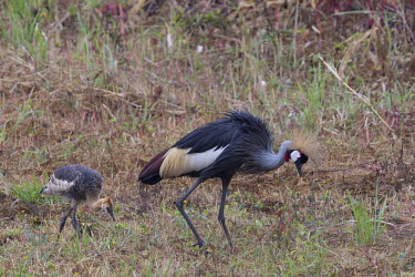 Grey crowned-crane and chick Wetland,mire,muskeg,peatland,bog,environment,ecosystem,Habitat,Terrestrial,ground,wading,wader,long legs,long legged,wetland,bill,flock,cranes,crane,chick,chicks,young,fledgling,family,Grey crowned-cr