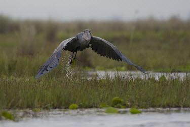 Shoebilltaking flight Wetland,mire,muskeg,peatland,bog,Terrestrial,ground,environment,ecosystem,Habitat,wading,wader,long legs,long legged,wetland,bill,flying,in-flight,motion,action,take-off,take off,shallow focus,Shoebil