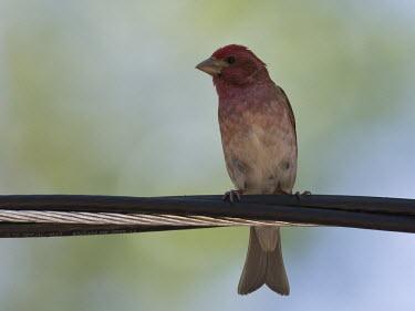 Cassin's finch perched on a power line Animalia,Chordata,Aves,Passeriformes,Fringillidae,Haemorhous cassinii,Carpodacus cassinii,finch,bird,birds,perched,perch,perching,red,Cassin's finch