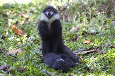 L�Hoest�s monkey looking guilty monkey,monkeys,primate,primates,arboreal,mammal,mammals,vertebrate,vertebrates,awkward,funny,L�Hoest�s monkey,Cercopithecus lhoesti,Old World Monkeys,Cercopithecidae,Primates,Chordates,Chordata,Mammal