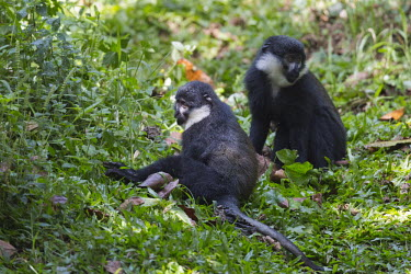 L�Hoest�s monkey relaxing in grass monkey,monkeys,primate,primates,arboreal,mammal,mammals,vertebrate,vertebrates,L�Hoest�s monkey,Cercopithecus lhoesti,Old World Monkeys,Cercopithecidae,Primates,Chordates,Chordata,Mammalia,Mammals,L�H