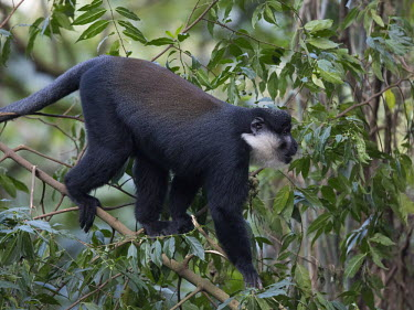 L�Hoest�s monkey in tree canopy monkey,monkeys,primate,primates,arboreal,mammal,mammals,vertebrate,vertebrates,canopy,jungle,forest,L�Hoest�s monkey,Cercopithecus lhoesti,Old World Monkeys,Cercopithecidae,Primates,Chordates,Chordata