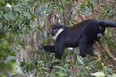 L�Hoest�s monkey foraging for fruit in a tree monkey,monkeys,primate,primates,arboreal,mammal,mammals,vertebrate,vertebrates,canopy,jungle,forest,L�Hoest�s monkey,Cercopithecus lhoesti,Old World Monkeys,Cercopithecidae,Primates,Chordates,Chordata