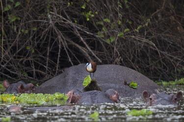 African jacana on top of a hippo fresh water,Freshwater,environment,ecosystem,Habitat,Aquatic,water,water body,Hippopotamus,bird,birds,wader,wetland,hippo,jacana,brave,island,African jacana,Actophilornis africanus