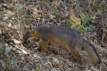 Island fox foraging in leaf litter food,feed,hungry,eat,hunger,Feeding,eating,forage,gleaning,glean,Foraging,mammal,mammals,vertebrate,vertebrates,terrestrial,fur,furry,canidae,predator,scavenger,hunter,fox,foxes,foraging,Island fox,Ur