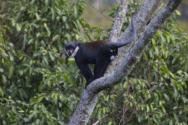 LHoests monkey in tree canopy Arboreal,treelife,lives in tree,tree life,tree dweller,monkey,monkeys,primate,primates,arboreal,mammal,mammals,vertebrate,vertebrates,canopy,jungle,forest,LHoests monkey,Cercopithecus lhoesti,Old Worl