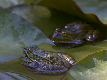 Ramsey Canyon leopard frogs on a lily pad gardens,Garden,Green,coloration,Colouration,fresh water,Freshwater,water,environment,ecosystem,Habitat,colours,color,colors,Colour,Green background,Aquatic,water body,Underwater,Lake,lakes,frog,frogs,