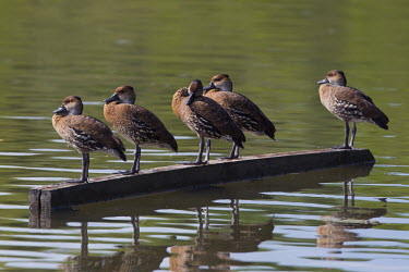 West Indian whistling-ducks lined up on floating wood Perching,perched,perch,waterfowl,duck,ducks,ponds,lakes,pond,lake,reeds,reed bed,wetland,West Indian whistling-duck,Dendrocygna arborea,Aves,Birds,Waterfowl,Anseriformes,Chordates,Chordata,Ducks, Gees