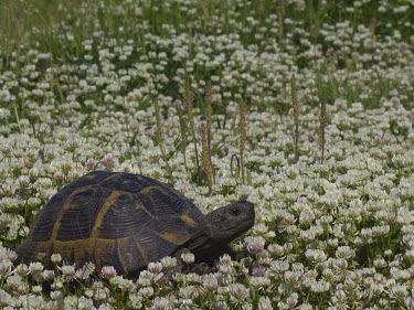 Greek tortoise in a field of clover environment,ecosystem,Habitat,Grassland,Terrestrial,ground,wildflower meadow,Meadow,shell,cold blooded,reptile,reptiles,tortoise,tortoises,flowers,field,flower,clover,Greek tortoise,Testudo graeca,Rep