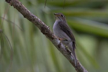 Cuban solitaire Animalia,Chordata,Aves,Passeriformes,Turdidae,Myadestes elisabeth,bird,perched,perching,birds,shallow focus,close up,green background,Cuban solitaire