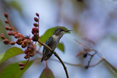 Bee hummingbird hummingbird,hummingbirds,tropical,bird,birds,perched,shallow focus,blue,metallic,berry,berries,Bee hummingbird,Mellisuga helenae,Aves,Birds,Chordates,Chordata,Hummingbirds,Trochilidae,Apodiformes,Swif