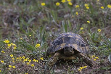 Greek tortoise looking at the camera wildflower meadow,Meadow,Grassland,environment,ecosystem,Habitat,Terrestrial,ground,shell,cold blooded,reptile,reptiles,tortoise,tortoises,flowers,portrait,looking at camera,Greek tortoise,Testudo gra
