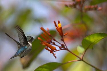 Bee hummingbird in flight hummingbird,hummingbirds,tropical,bird,birds,flying,flight,in-flight,action,motion,feeding,nectar,orange,flower,Bee hummingbird,Mellisuga helenae,Aves,Birds,Chordates,Chordata,Hummingbirds,Trochilidae