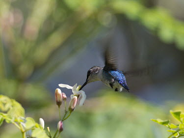 Bee hummingbird in flight food,feed,hungry,eat,hunger,Feeding,eating,Filter feeding,Filter feeder,in-air,in flight,flight,in-flight,flap,Flying,fly,in air,flapping,action,movement,move,Moving,in action,in motion,motion,humming