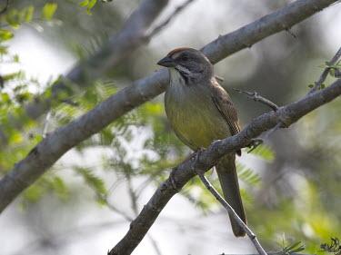 Cuban sparrow Torreornis inexpectata varonai,sparrow,bird,birds,Cuba,shallow focus,perching,perched,close up,Cuban sparrow,Torreornis inexpectata,Aves,Birds,Chordates,Chordata,Emberizidae,Emberizids,Perching Birds,