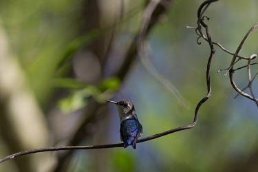 Bee hummingbird colours,color,colors,Colour,action,movement,move,Moving,in action,in motion,motion,azul,Blue,Filter feeding,Filter feeder,tropics,Tropical,in-air,in flight,flight,in-flight,flap,Flying,fly,in air,flap