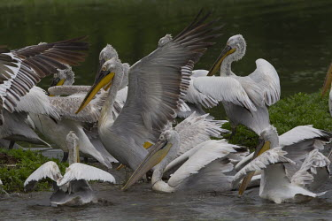 Flock of Dalmatian pelicans gathering,Group,many,collection,assemble,numerous,grouping,collective,gather,assembly,gamming,pelican,freshwater bird,aquatic,aquatic birds,flock,pelicans,action,motion,wings,bird,birds,Dalmatian peli