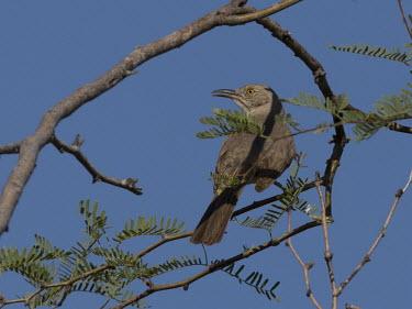 Bendire's thrasher Animalia,Chordata,Aves,Passeriformes,Mimidae,Toxostoma bendirei,blue sky,perched,perching,grey,bird,birds,Bendire's thrasher
