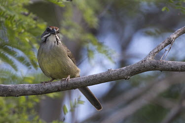 Cuban sparrow Perching,perched,perch,blur,selective focus,blurry,depth of field,Shallow focus,blurred,soft focus,Torreornis inexpectata varonai,sparrow,bird,birds,Cuba,shallow focus,perching,close up,Cuban sparrow,
