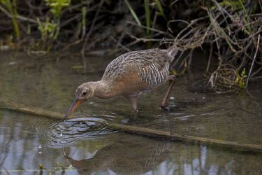 Light-footed rail hunting Terrestrial,ground,Wetland,mire,muskeg,peatland,bog,environment,ecosystem,Habitat,Animalia,Chordata,Aves,Gruiformes,Rallidae,Rallus obsoletus levipes,fishing,hunting,bill,reeds,reed bed,water,freshwat