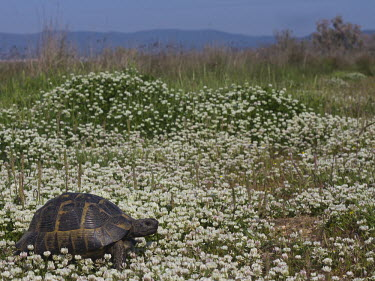 Greek tortoise in a field of clover shell,cold blooded,reptile,reptiles,tortoise,tortoises,flowers,field,flower,clover,Greek tortoise,Testudo graeca,Reptilia,Reptiles,Turtles,Testudines,Chordates,Chordata,Tortoises,Testudinidae,spur-thi