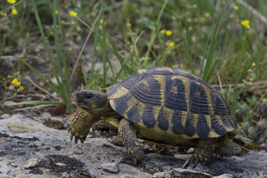 Greek tortoise walking shell,cold blooded,reptile,reptiles,tortoise,tortoises,walking,motion,Greek tortoise,Testudo graeca,Reptilia,Reptiles,Turtles,Testudines,Chordates,Chordata,Tortoises,Testudinidae,spur-thighed tortoise