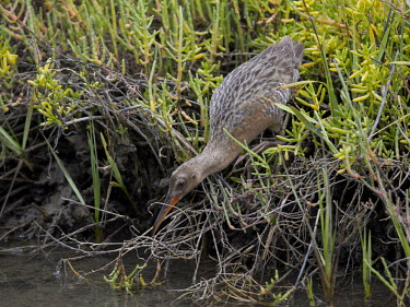Light-footed rail hunting Wetland,mire,muskeg,peatland,bog,environment,ecosystem,Habitat,Terrestrial,ground,Animalia,Chordata,Aves,Gruiformes,Rallidae,Rallus obsoletus levipes,fishing,hunting,bill,reeds,reed bed,water,freshwat