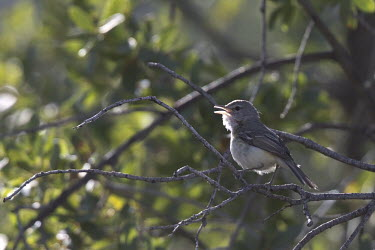 Bell's vireo chirping Vocalisation,speaking,vocalization,talking,vocalising,auditory,chirp,Chirping,tweeting,tweet,communication,Communicating,Vireo bellii arizonae,vireo,bird,birds,perch,perching,perched,bird song,chirpin
