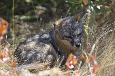 Island fox curled up resting resting,rested,rest,mammal,mammals,vertebrate,vertebrates,terrestrial,fur,furry,canidae,predator,scavenger,hunter,fox,foxes,face,nap,snooze,Island fox,Urocyon littoralis,Mammalia,Mammals,Dog, Coyote,
