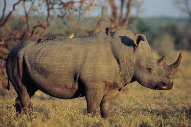 White rhinoceros with oxpeckers on its back, Africa rhino,rhinos,white rhino,White rhinoceros,Ceratotherium simum,Rhinocerous,Rhinocerotidae,Perissodactyla,Odd-toed Ungulates,Mammalia,Mammals,Chordates,Chordata,square-lipped rhinoceros,Rinoceronte Blan