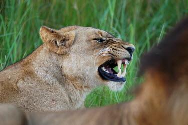 Lioness baring her teeth, Africa Lion,Panthera leo,Felidae,Cats,Mammalia,Mammals,Carnivores,Carnivora,Chordates,Chordata,Lion d'Afrique,Le�n,leo,Animalia,Savannah,Africa,Scrub,Appendix II,Asia,Panthera,Vulnerable,Desert,Terrestrial,C