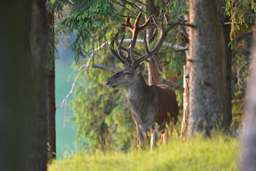 Reindeerin soft light of a woodland, Europe antlers,Antler,forests,Forest,environment,ecosystem,Habitat,Terrestrial,ground,evergreen,Evergreen forest,woodlands,wood land,Woodlot,Woodland,Reindeer,Rangifer tarandus,Even-toed Ungulates,Artiodacty