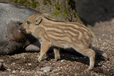 Wild boar piglet, Europe coloration,Colouration,food,feed,hungry,eat,hunger,Feeding,eating,Juvenile,immature,child,children,baby,infants,infant,young,babies,stripe,Stripes,stripy,striped,piglets,Piglet,Offspring,patterns,patt