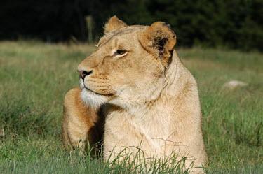 Lioness sat in grass, Africa resting,rested,rest,Lion,Panthera leo,Felidae,Cats,Mammalia,Mammals,Carnivores,Carnivora,Chordates,Chordata,Lion d'Afrique,Le�n,leo,Animalia,Savannah,Africa,Scrub,Appendix II,Asia,Panthera,Vulnerable,
