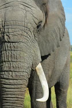 Portrait of an African elephant Tusks,tusk,Close up,African elephant,Loxodonta africana,Elephants,Elephantidae,Chordates,Chordata,Elephants, Mammoths, Mastodons,Proboscidea,Mammalia,Mammals,savanna elephant,Loxodonta africana africa